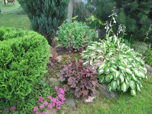 Хосты в саду фото