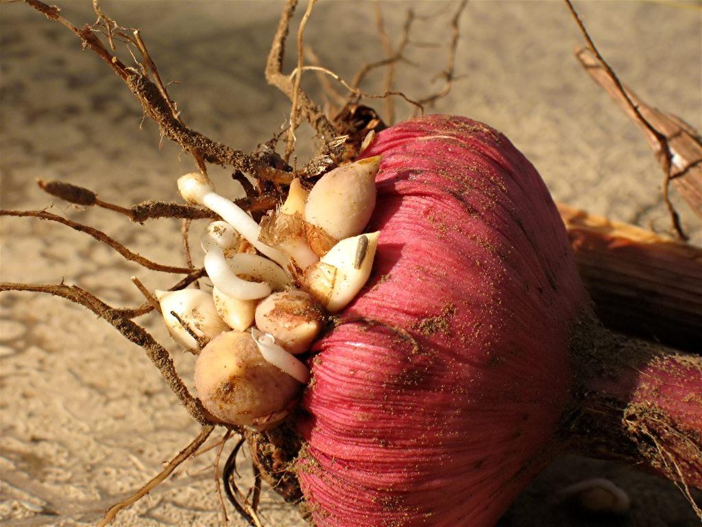 Обработка луковиц тюльпанов после выкопки