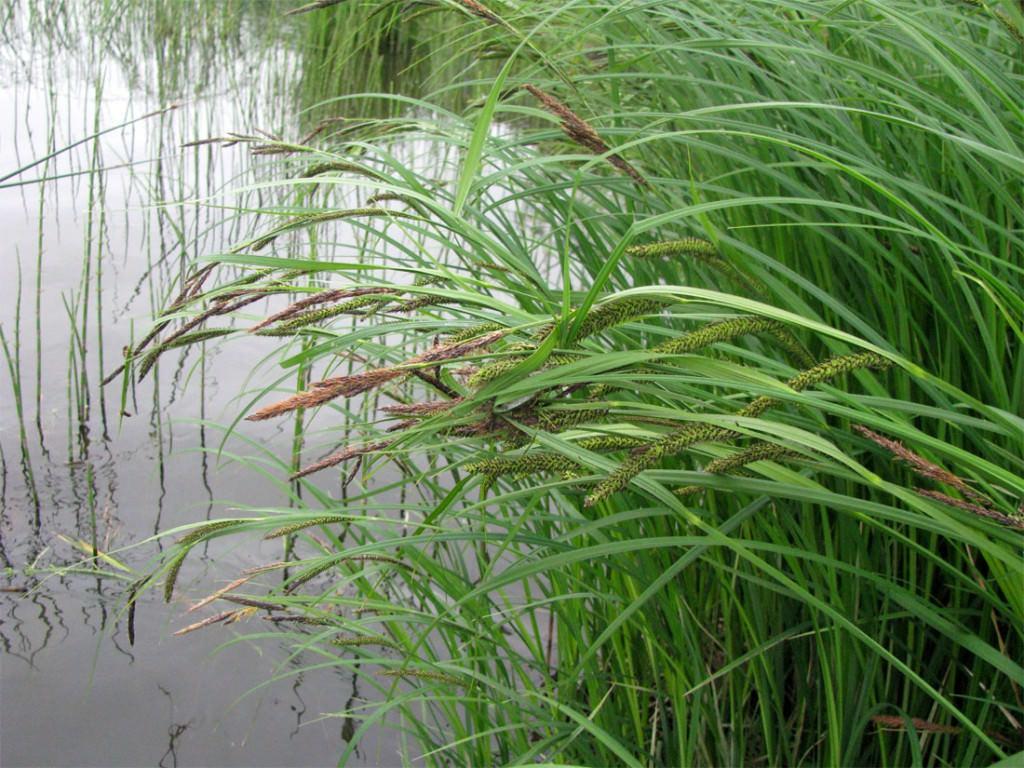 Как посадить иву у пруда?