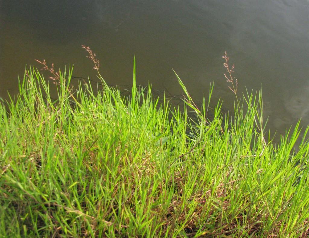 Название травы для газона