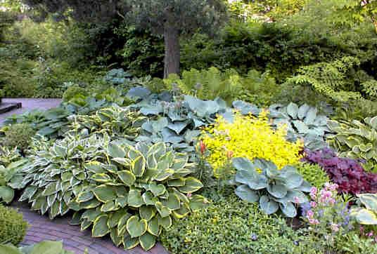 Хосты в саду дизайн фото