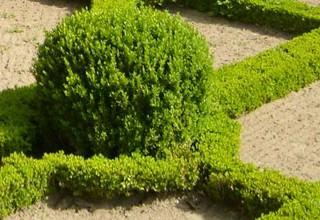 Декоративные кустарники на даче