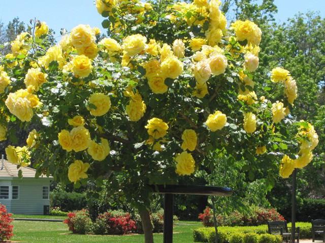 Штамбовая роза фото