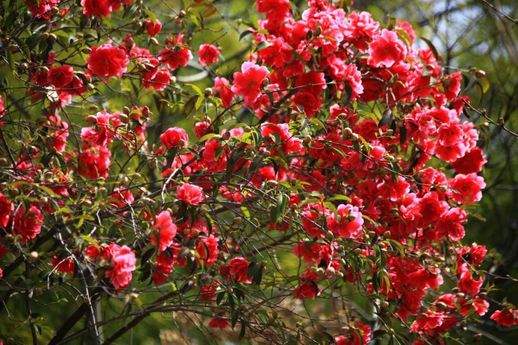 Цветущие деревья и кустарники