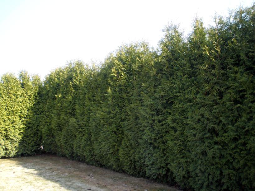 Вечнозеленый вьющиееся растения для фасада