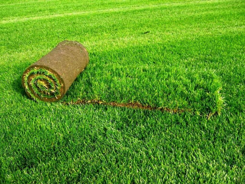 Газонная трава виды