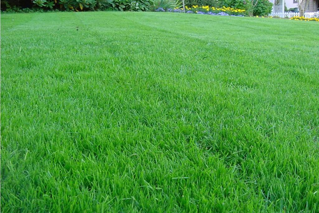 Сорта газона
