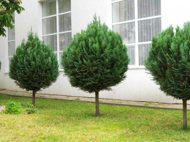 Штамбовые деревья