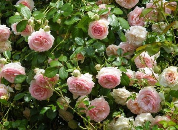 Розы для украшения сада