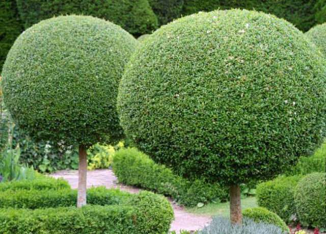 Хвойные на штамбе в дизайне сада