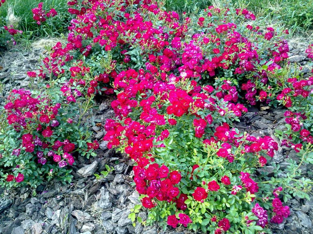 Роза почвопокровная сорта фото