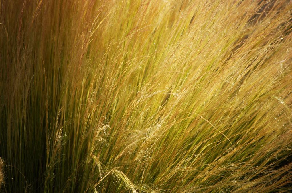 Низкорослые злаки легко выращенные из семян