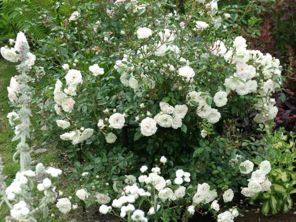 Почвопокровные розы уход