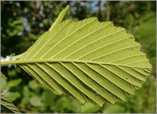 Использование листьев в медицине