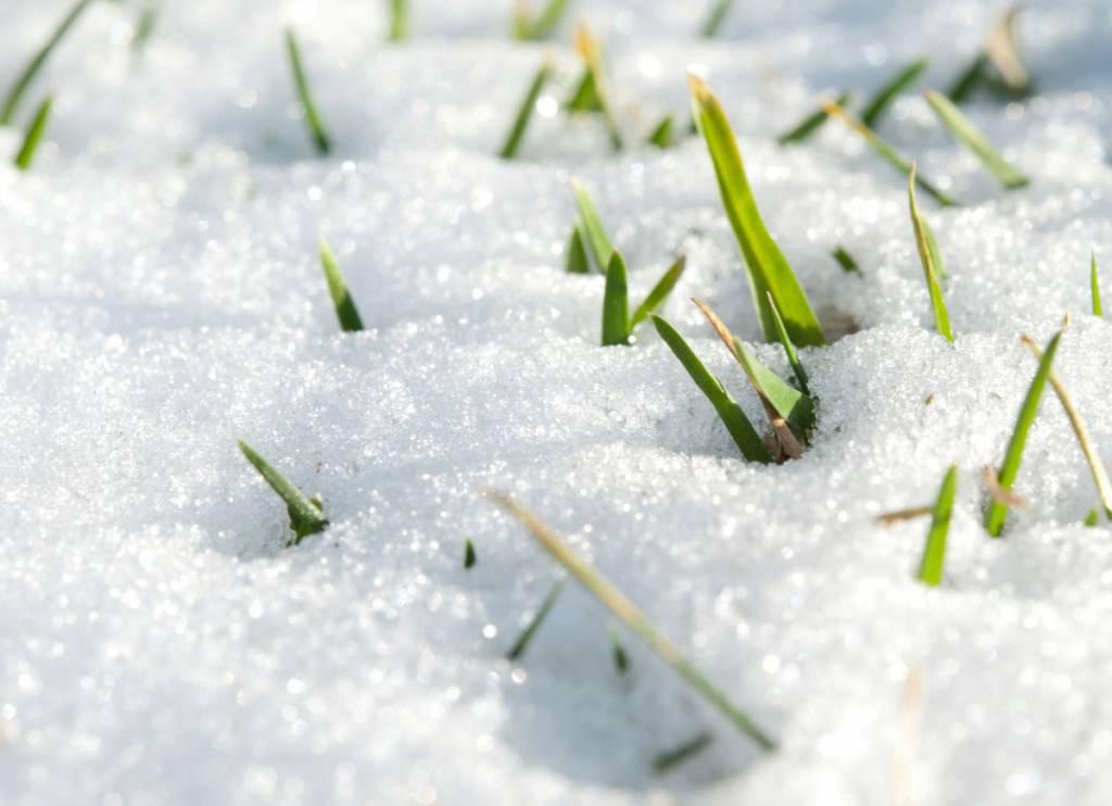 Как защитить газон от мышей зимой?