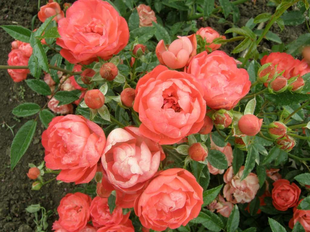 Почвопокровные розы сорта
