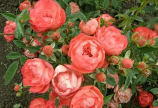 Почвопокровные розы в саду