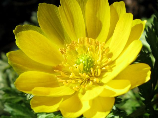 Цветок горицвет фото