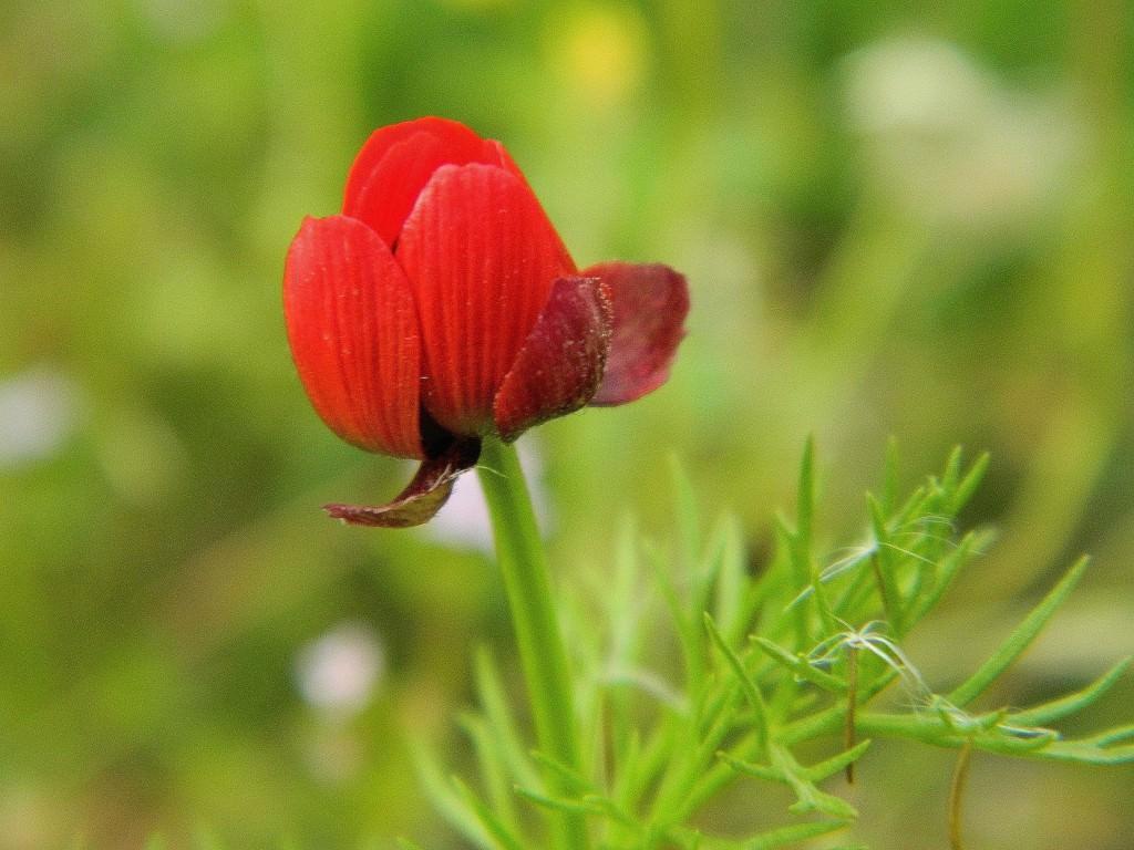 Лекарственные препараты изготавливаемые из сырья горицвета