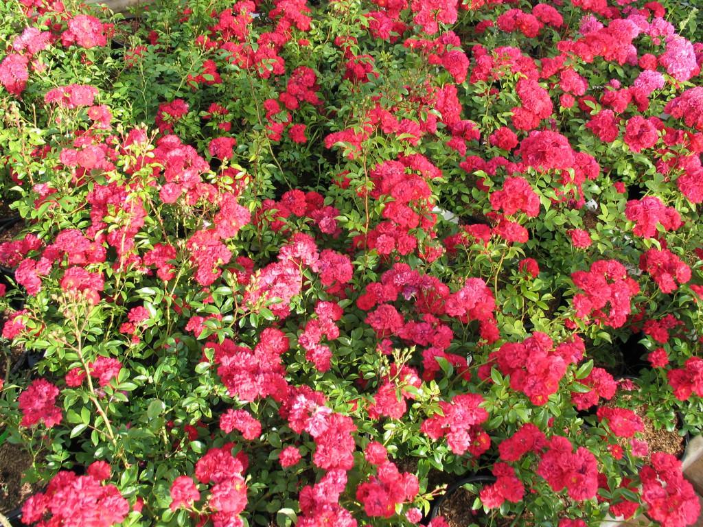 Розы почвопокровные сорта зимостойкие фото