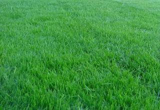 Как посадить газонную траву?
