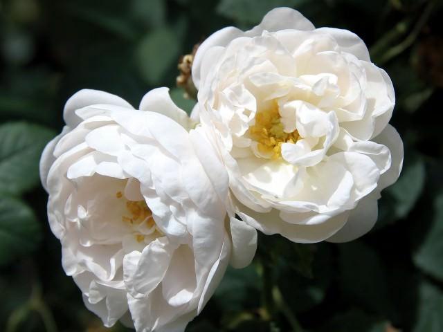 Роза морщинистая рубра описание