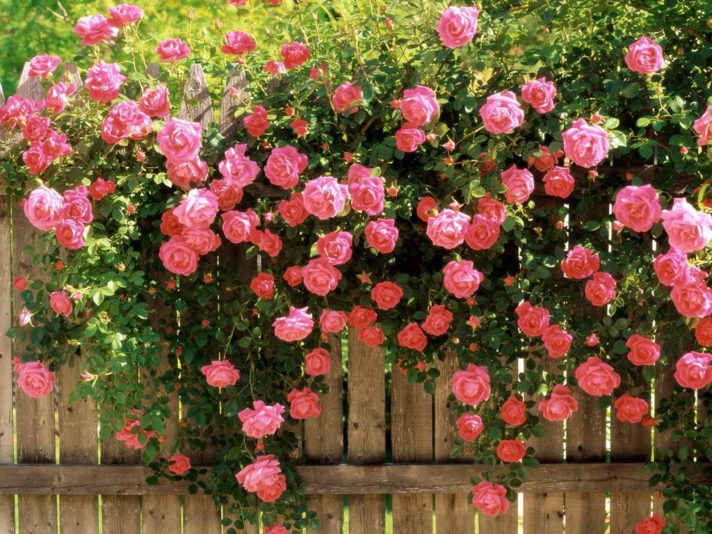 Стелющиеся розы фото посадка и уход