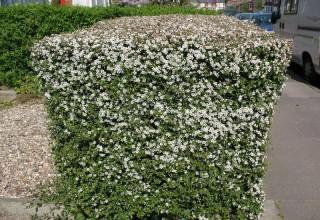 Кизильник - листопадный или вечнозеленый кустарник