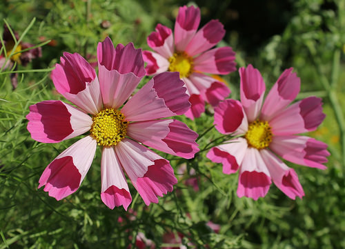 Космея фото цветов 40 Сантиметров