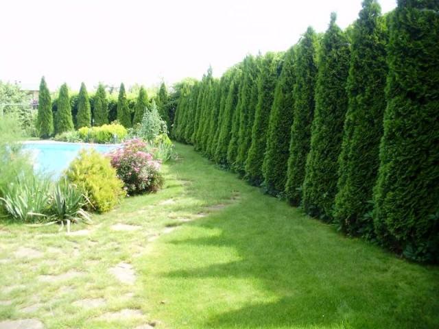 Живая изгородь с помощью каркаса фото