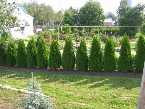 Фото вечнозеленых деревьев и Кустарников вроссии