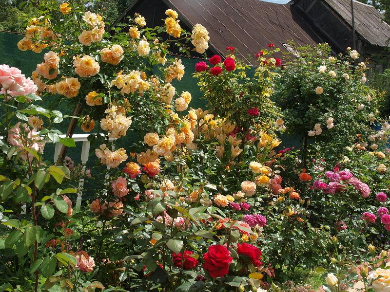 Красивые клумбы розы своими руками на даче фото