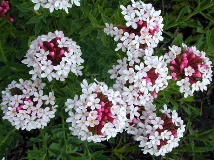 Неприхотливые многолетние цветы и растения для сада 35