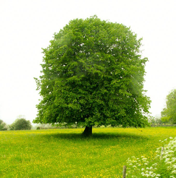 Декоративные лиственные деревья для сада