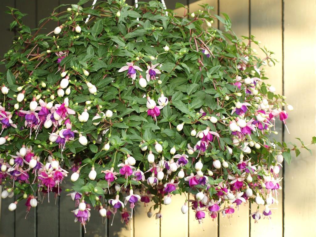 Ампельные цветы для кашпо: названия и фото 89