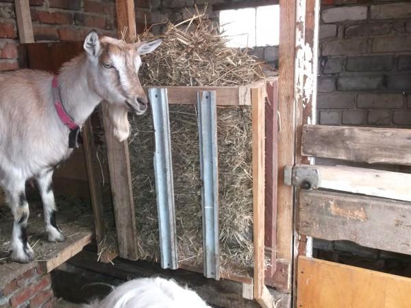 Сарай для коз должен быть сухим и без сквозняков