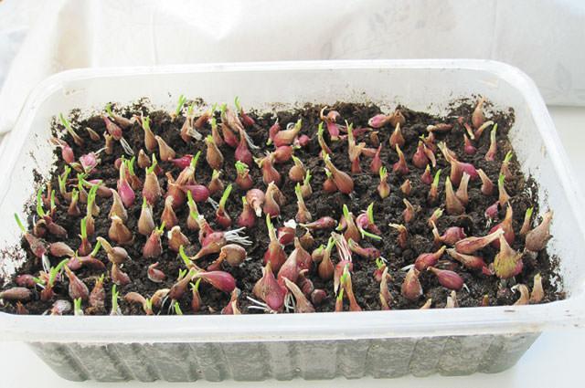 Выращивать лук на зелень можно круглый год