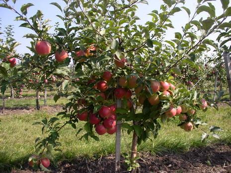 Карликовые яблони для Сибири
