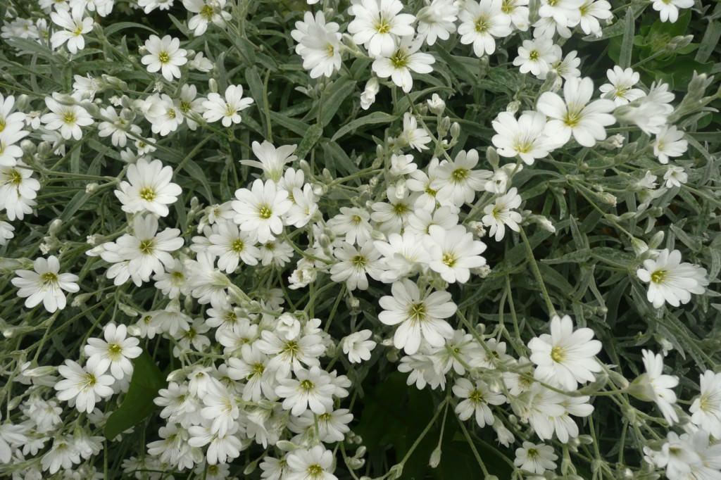 Многолетники с белыми цветами: фото и названия - Фермилон
