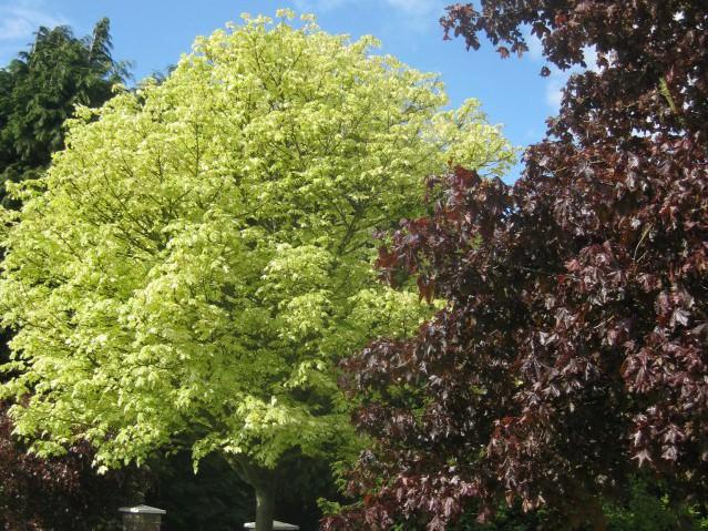 Декоративные лиственные растения кустарники