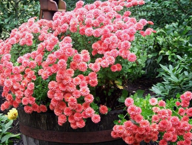 Ампельные теневыносливые цветы