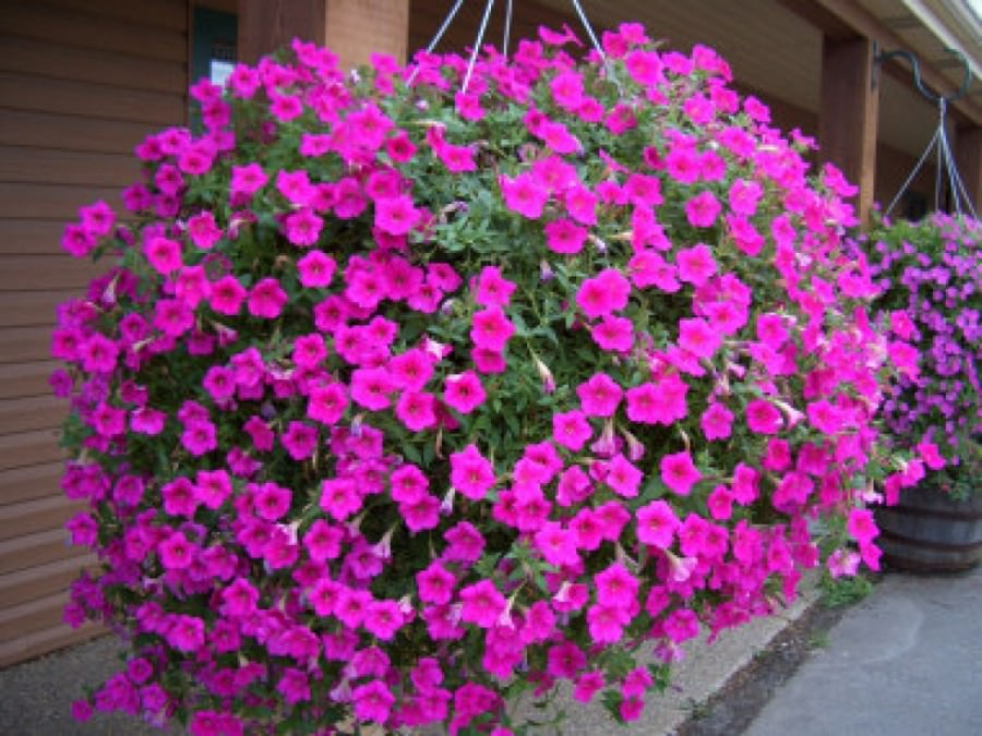 Цветы ампельные цветущие все лето фото