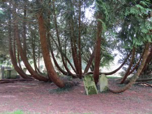 Быстрорастущие деревья
