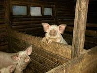 Сарай для свиней своими руками