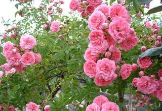 Выращивание роз своими руками
