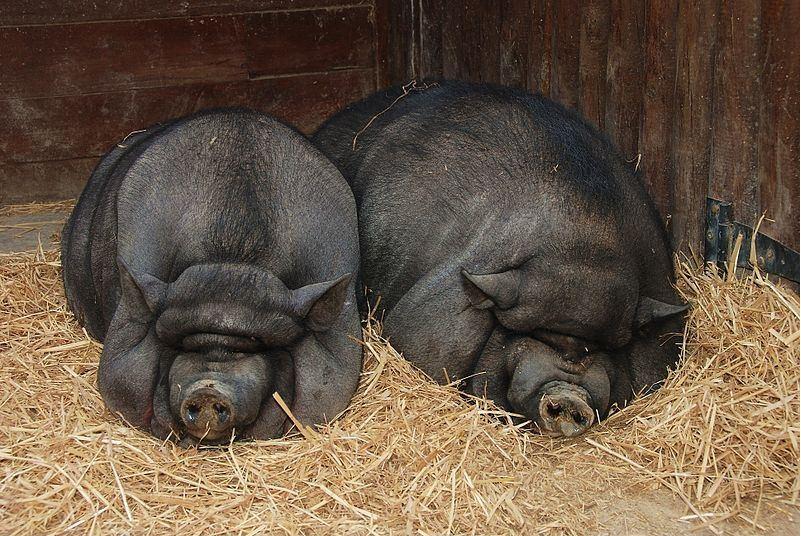 Как правильно построить сарай для свиней?