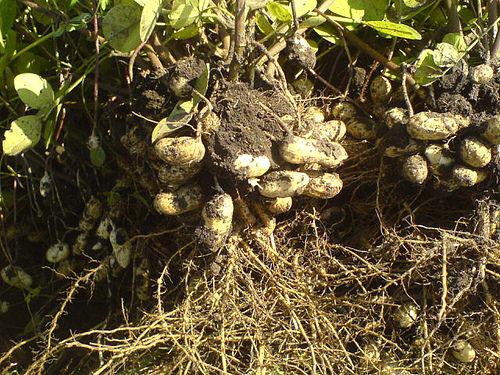 Как растет арахис фото