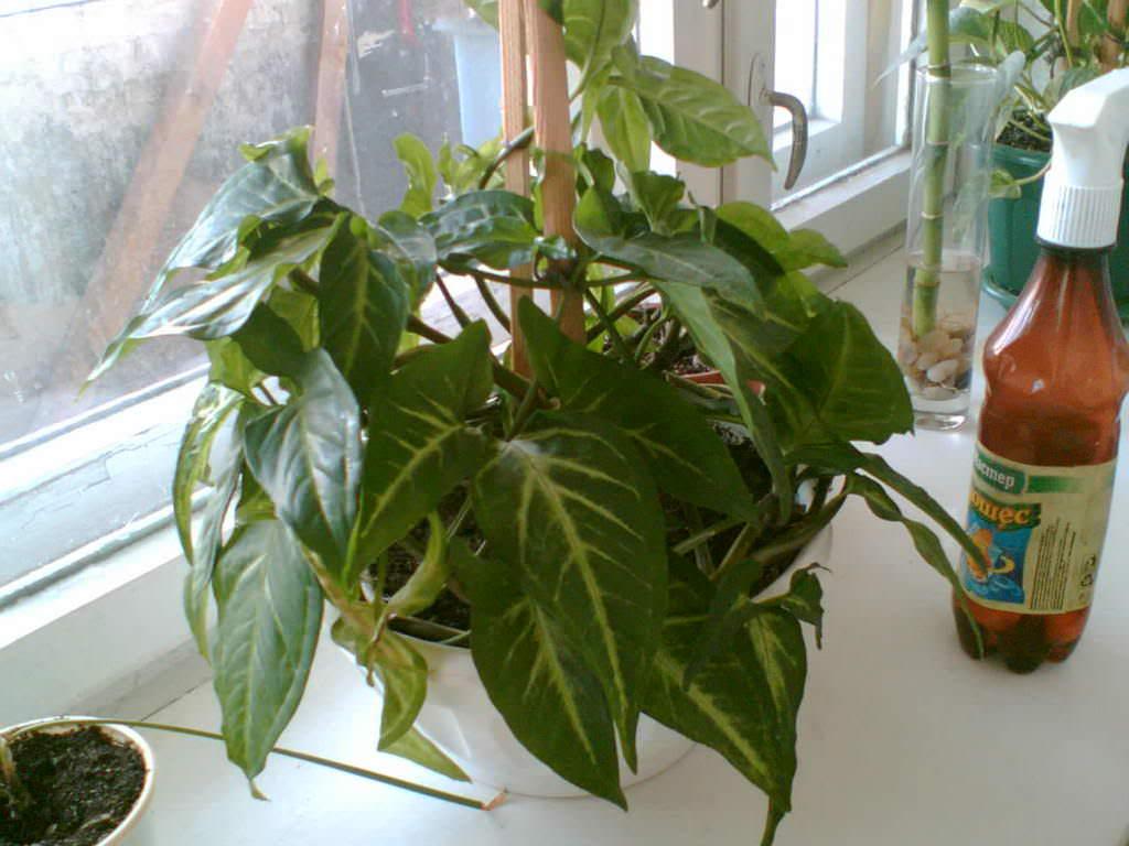 Декоративная груша лиана
