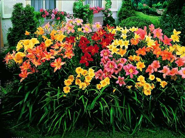 Лилейники фото цветов в клумбе идеи
