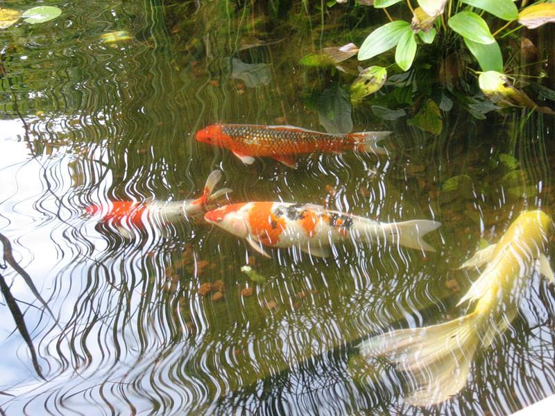Какую рыбу можно развести в пруду?